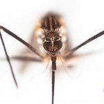 Aedes Vexans Mosquito